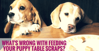 What's Wrong With Feeding Your Puppy Table Scraps?