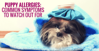 Puppy Allergies: Common Symptoms To Watch Out For