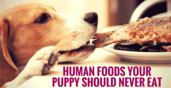 Human Foods Your Puppy Should Never Eat