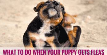 What To Do When Your Puppy Gets Fleas