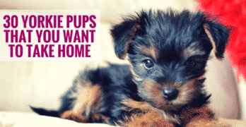 30 Yorkie Pups That You Want To Take Home