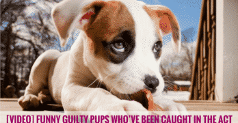 [VIDEO] Funny Guilty Pups Who've Been Caught in the Act