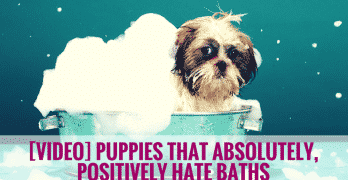 [VIDEO] Puppies That Absolutely, Positively Hate Baths