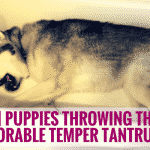 [VIDEO] Puppies Throwing The Most Adorable Temper Tantrums