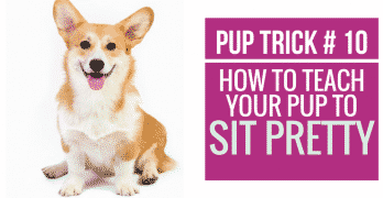 [Video] Pup Trick #10 – How to teach your pup to Sit Pretty