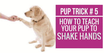 [Video] Pup Trick #5 – How to teach your pup to Shake Hands