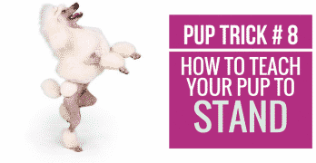 [Video] Pup Trick #8 – How to teach your pup to Stand on Hind Legs
