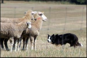 Dog Breeds and Their Characteristics--Border Collie Herding Sheep