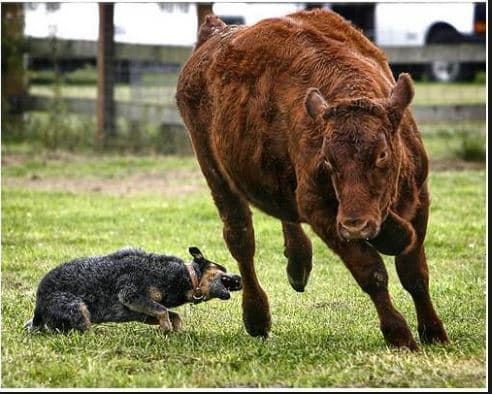 Dog Breeds and Their Characteristics -- Australian Cattle Dog (red/blue heeler) herding a head of cattle by nipping at the heels of the cattle