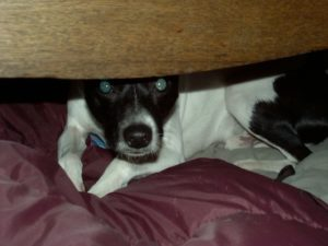 dog hiding under something cowering in fear -- 7 ways to protect your dog from fireworks
