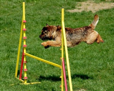 Border terrier in dog agility