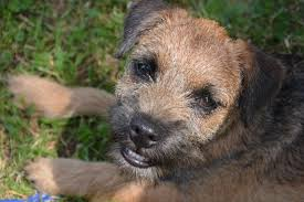 border terrier smiling